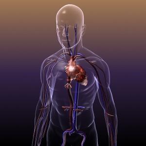circulatory_system_heart_human_3d_model_free