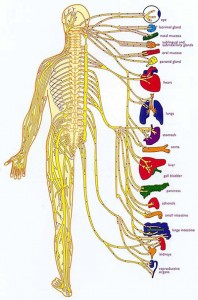 spinal-nerves-organs, Dr Keefe,  Natural Health care, pain, Tulsa chiropractor,